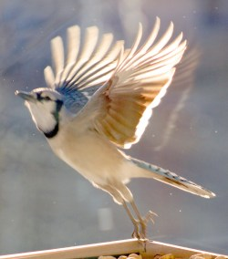 This Blue Jay picture is reminds me of taking flight and being free
