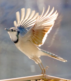 New Year BlueJay Flying